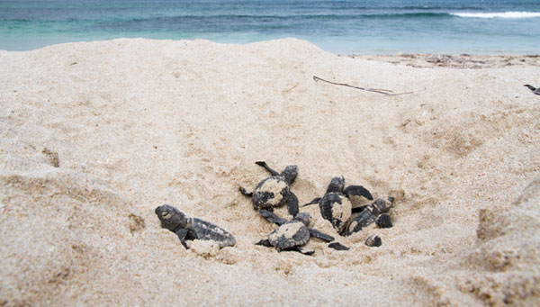 Sea turtle hatchlings at the Gnaraloo Bay Rookery - Gnaraloo Turtle Conservation Program