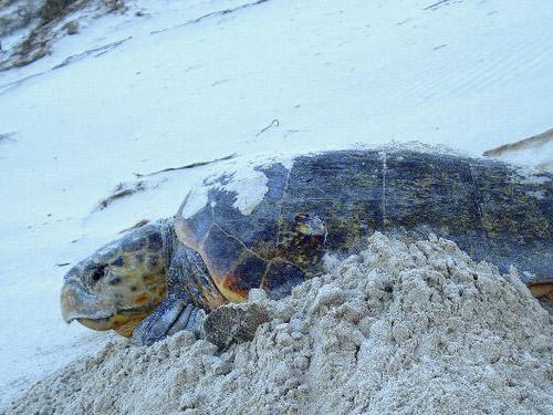 Loggerhead turtle at Gnaraloo