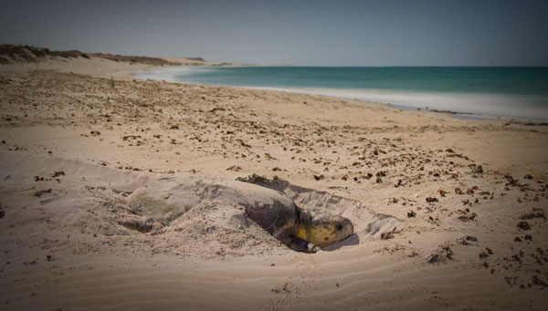 Nesting sea turtle at Gnaraloo in Western Australia