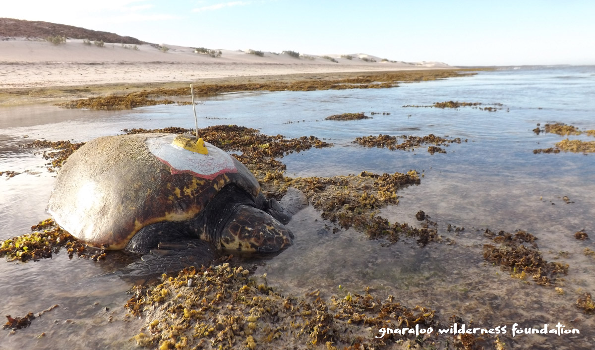 Satellite tracked sea turtle at Gnaraloo - Ningaloo Coast World Heritage Area