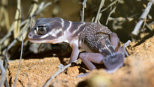 Knob tailed gecko at Gnaraloo in Western Australia