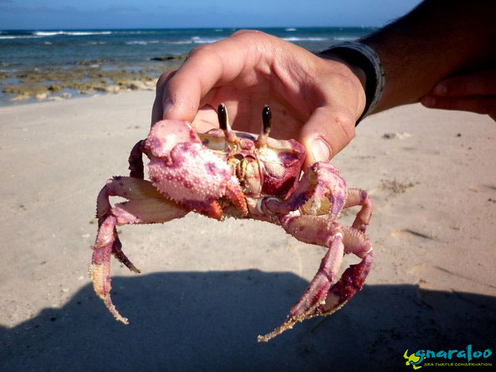 Red golden ghost crab (Ocypode convexa)
