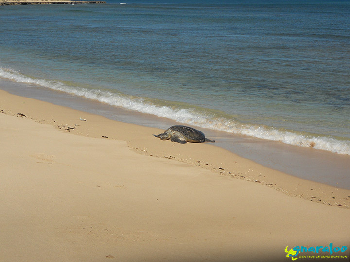 DEC training in Exmouth - Green turtle
