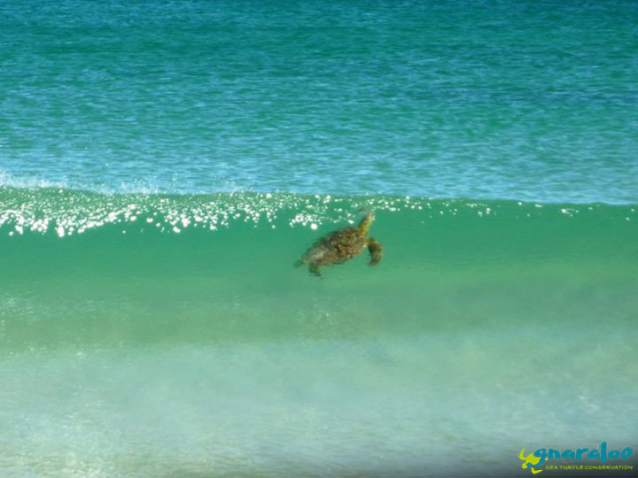 Green Sea Turtle In Waves
