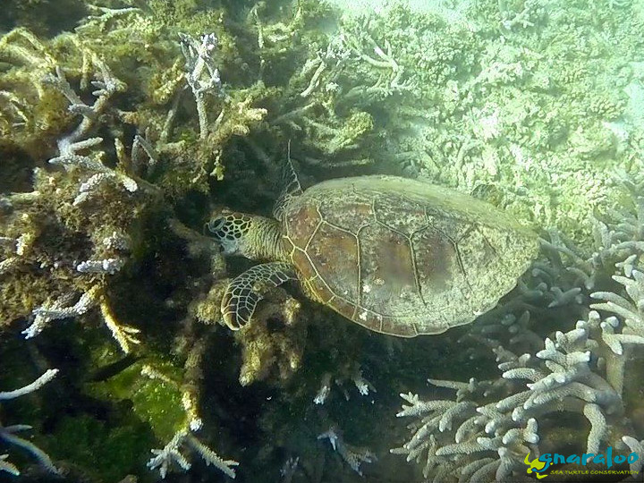 Green Turtle At Gnaraloo