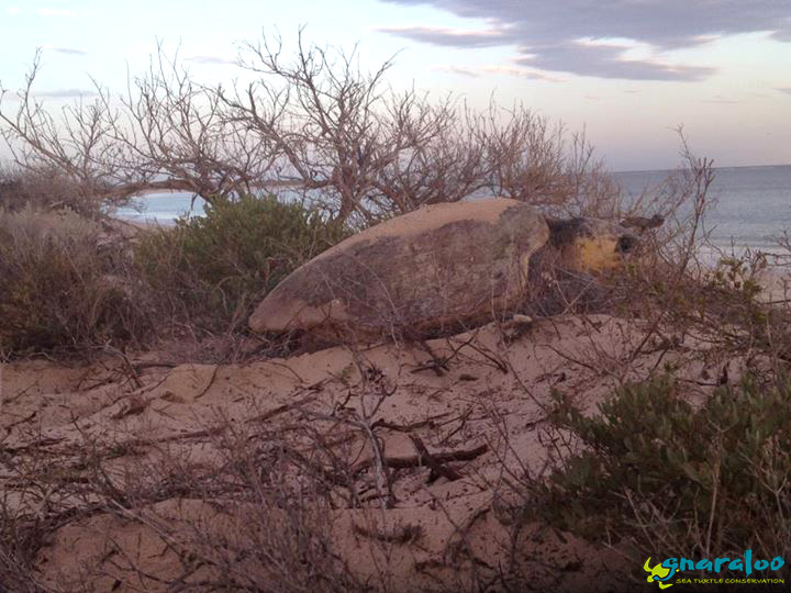 Loggerhead Female After Nesting In The GBR On Boxing Day