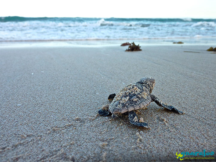 Loggerhead Hatchling At The Gnaraloo Bay Rookery