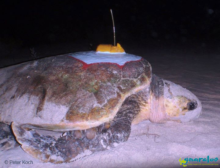 First Loggerhead Turtle To Be Attached With A Satellite Tag At Gnaraloo - Photo By Peter Koch