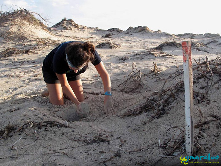 Sea Turtle Nest Excavation At Gnaraloo