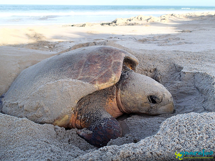 Nesting Loggerhead At Gnaraloo