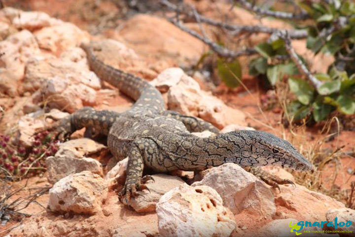 Wildlife Wednesday: Perentie (Varanus Giganteus)