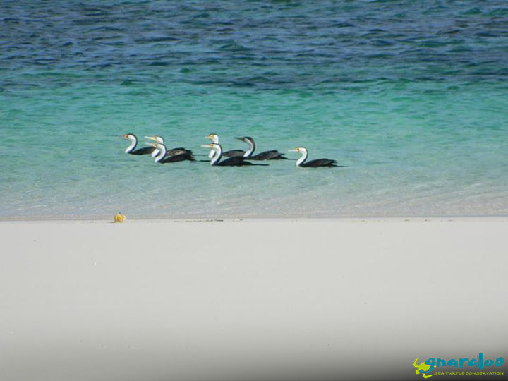 Pied cormorants - Ningaloo Reef