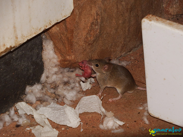House mouse and baby