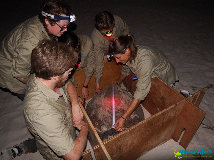 Sea turtle satellite tracking in Western Australia - Gnaraloo Turtle Conservation Program