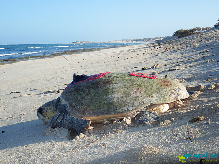 Satellite tag turtle at the Gnaraloo Bay Rookery