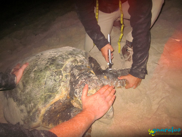 Sea Turtle Flipper Tagging