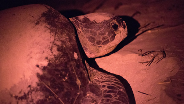 Green sea turtle nesting at the Gnaraloo Bay Rookery