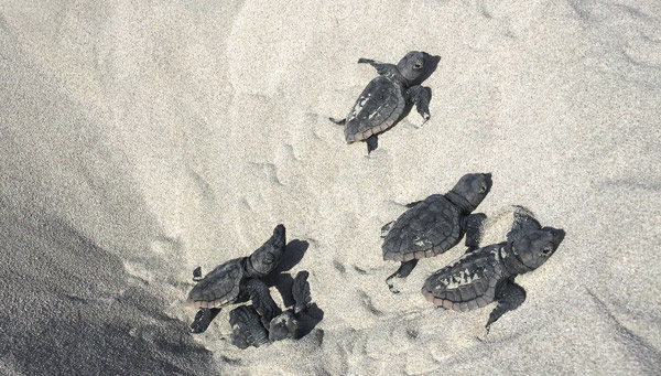 Loggerhead sea turtle hatchlings at Gnaraloo Bay in Western Australia