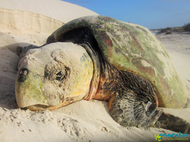 Stranded Sea Turtle At The Gnaraloo Bay Rookery