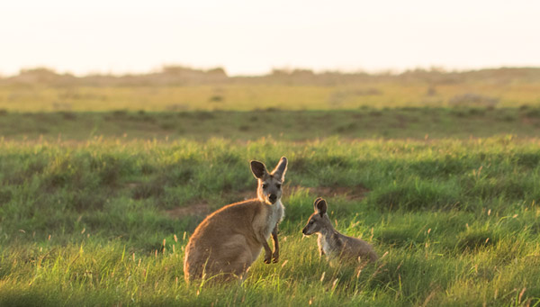 Wallaroos at Gnaraloo