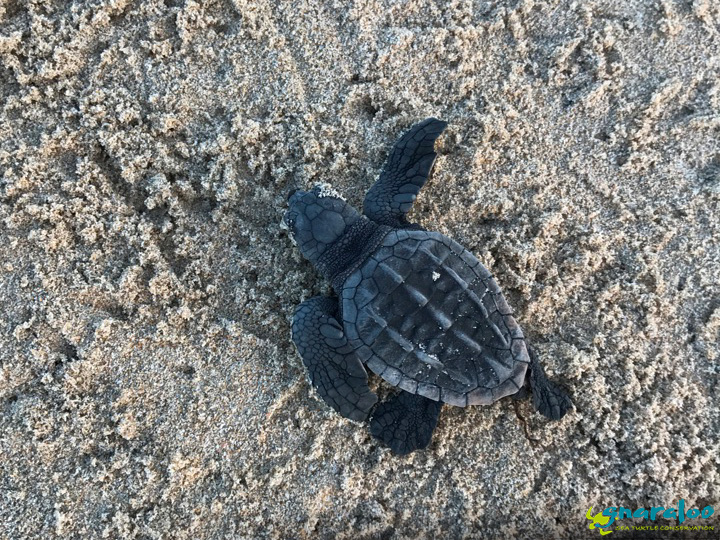 Loggerhead sea turtle hatchling at Gnaraloo Bay Western Australia