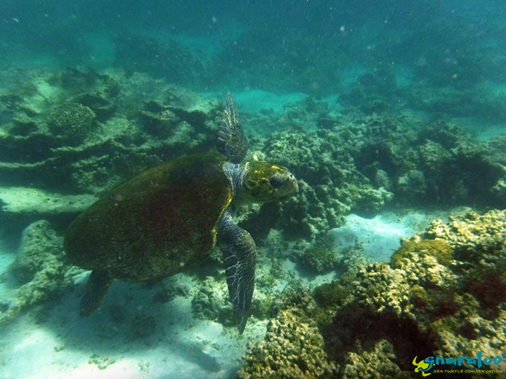 Swimming with a loggerhead turtle, Gnaraloo Bay, Ningaloo Reef, Western Australia