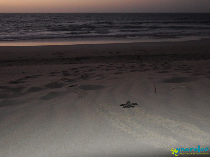 Loggerhead sea turtle hatchlings at the Gnaraloo Bay Rookery