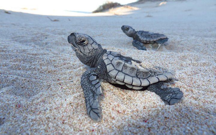 Loggerhead Sea Turtle Hatchlings At The Gnaraloo Bay Rookery, Ningaloo Coast, Western Australia