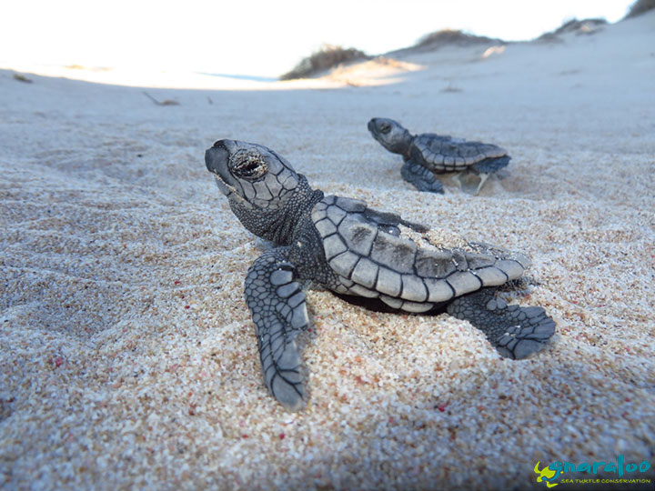 Sea Turtle Hatchlings Making The Race To The Ocean