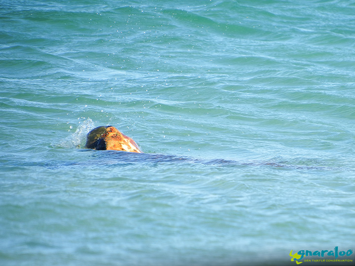Loggerhead sea turtle surfaces for a quick breath, Gnaraloo Bay