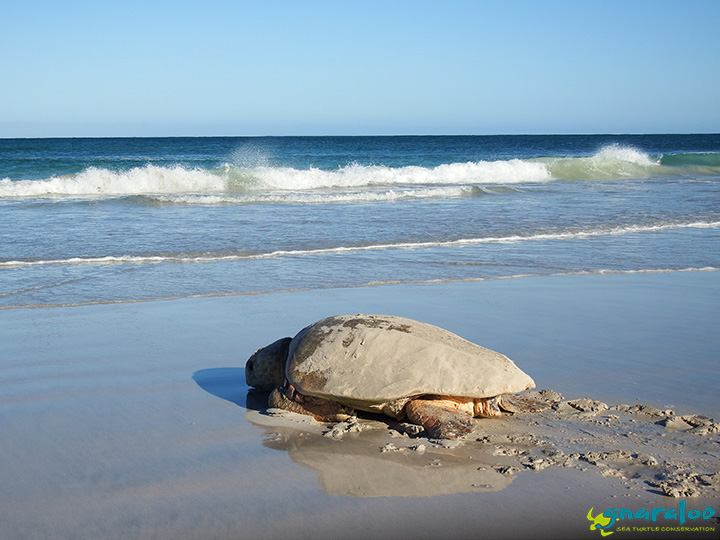Loggerhead sea turtle returning to the ocean at the Gnaraloo Bay Rookery