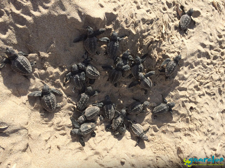 Sea turtle nest hatching at the Gnaraloo Bay Rookery, Ningaloo Coast, Western Australia