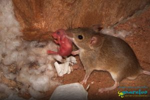 House Mouse - Mus musculus - Gnaraloo Wildlife Species