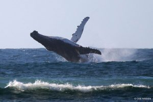 Humpback Whale - Megaptera novaeangliae - Gnaraloo Wildlife Species