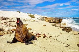 Australian Sea Lion - Neophoca cinerea - Gnaraloo Wildlife Species