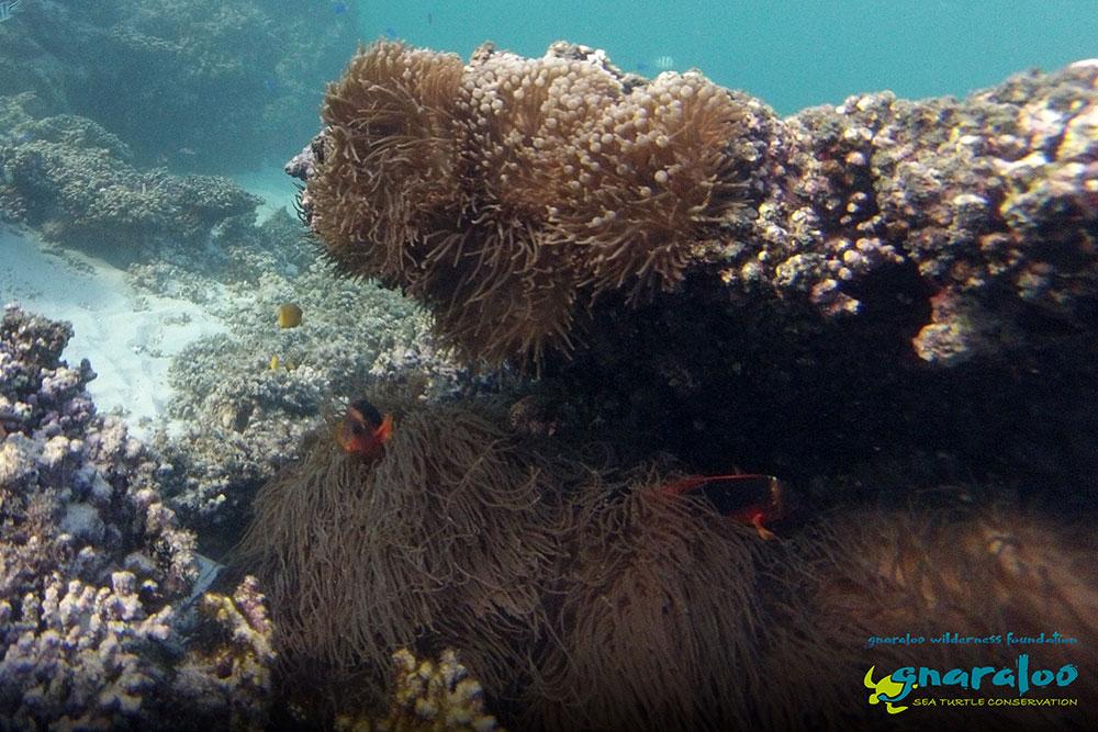 Australian Anemonefish - Amphiprion rubrocinctus - Gnaraloo Wildlife Species