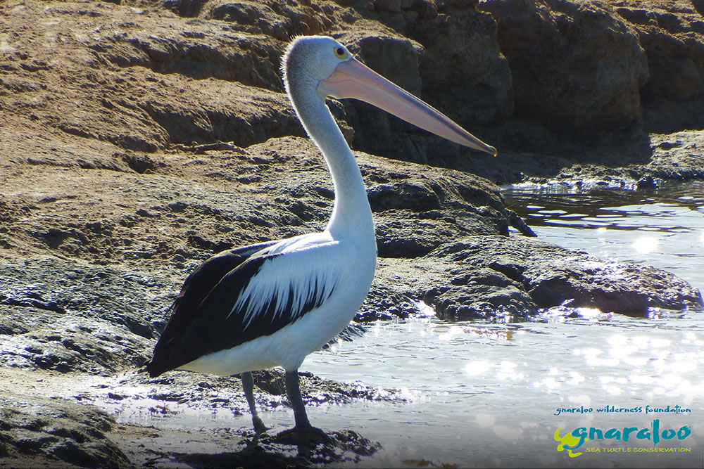 Australian Pelican - Pelecanus conspicillatus - Gnaraloo Wildlife Species