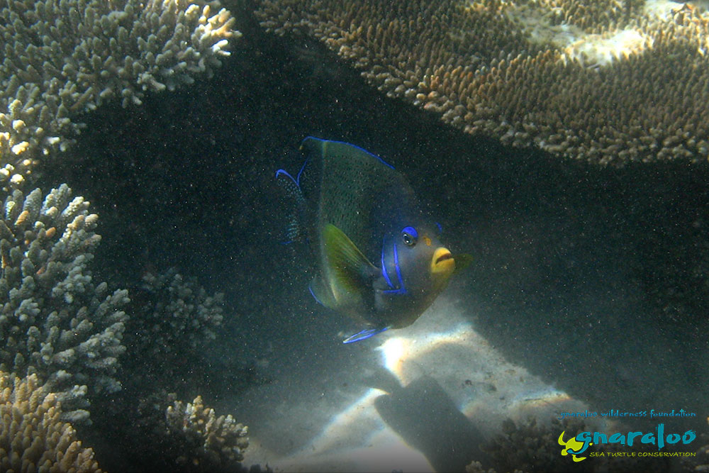 Blue (or Semicircle) Angelfish - Pomacanthus semicirculatus - Gnaraloo Wildlife Species