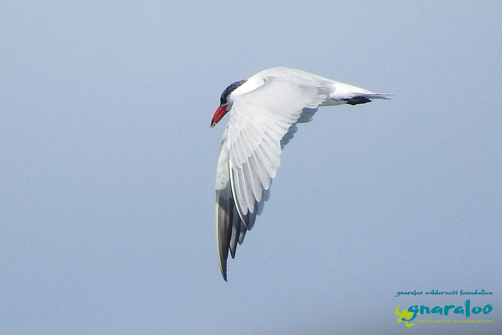 Caspian Tern - Hydroprogne caspia - Gnaraloo Wildlife Species