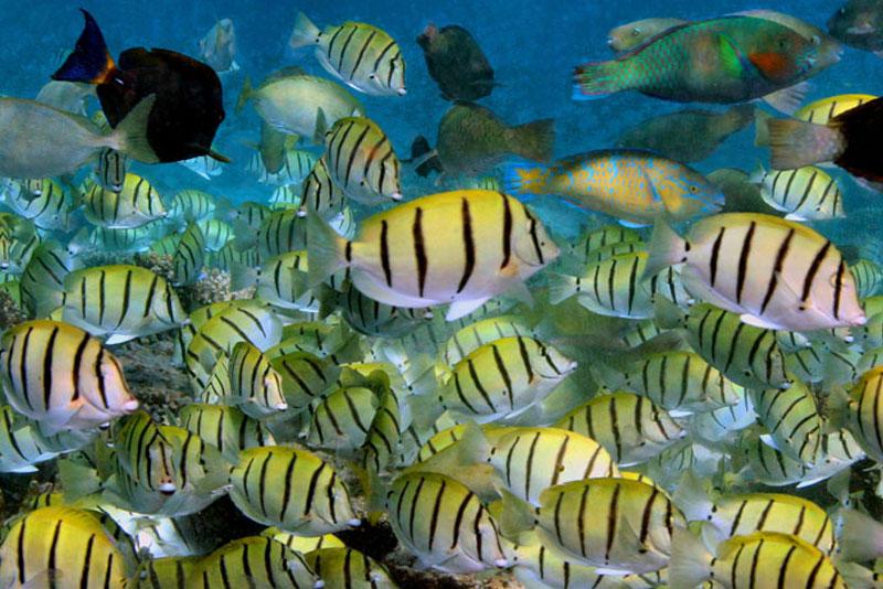 Convict Surgeonfish - Acanthurus triostegus - Gnaraloo Wildlife Species