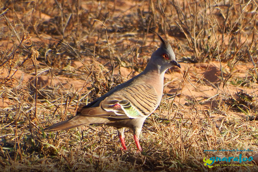 Crested Pigeon - Ocyphaps lophotes - Gnaraloo Wildlife Species