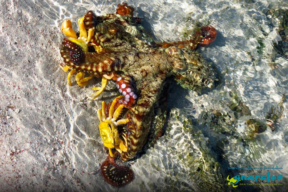 Day Octopus - Octopus cyanea - Gnaraloo Wildlife Species