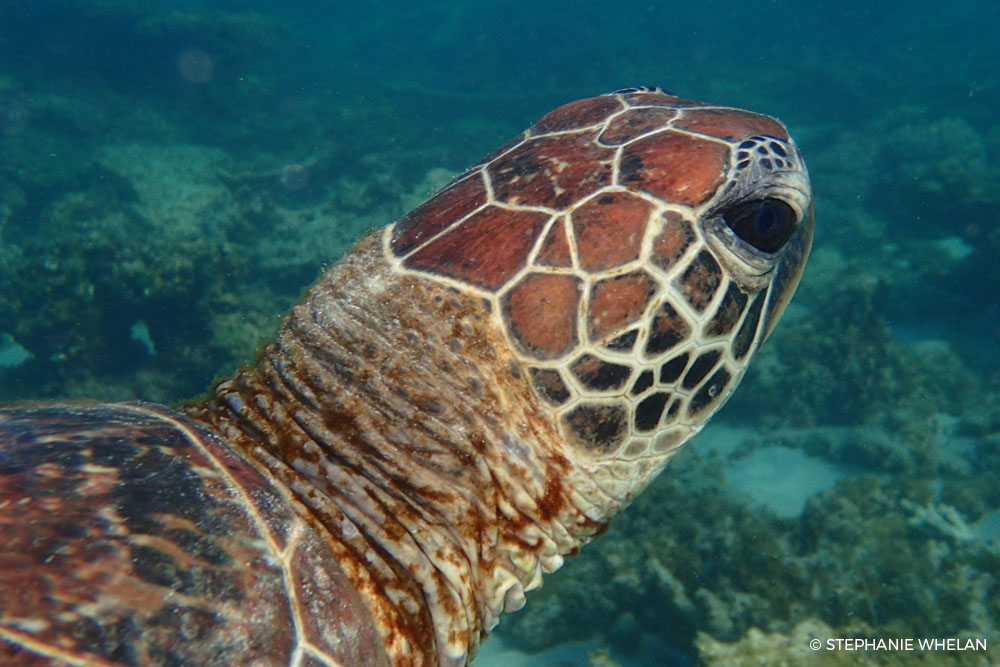 Green Turtle - Gnaraloo Wildlife Species