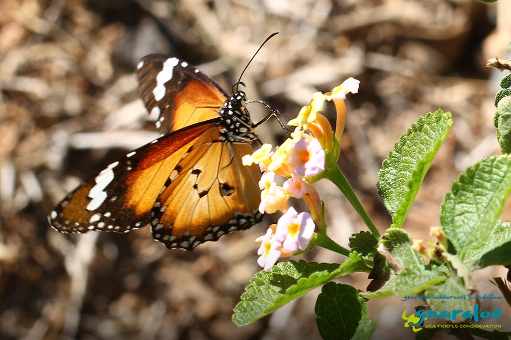 Lesser Wanderer - Danaus petilia - Gnaraloo Wildlife Species