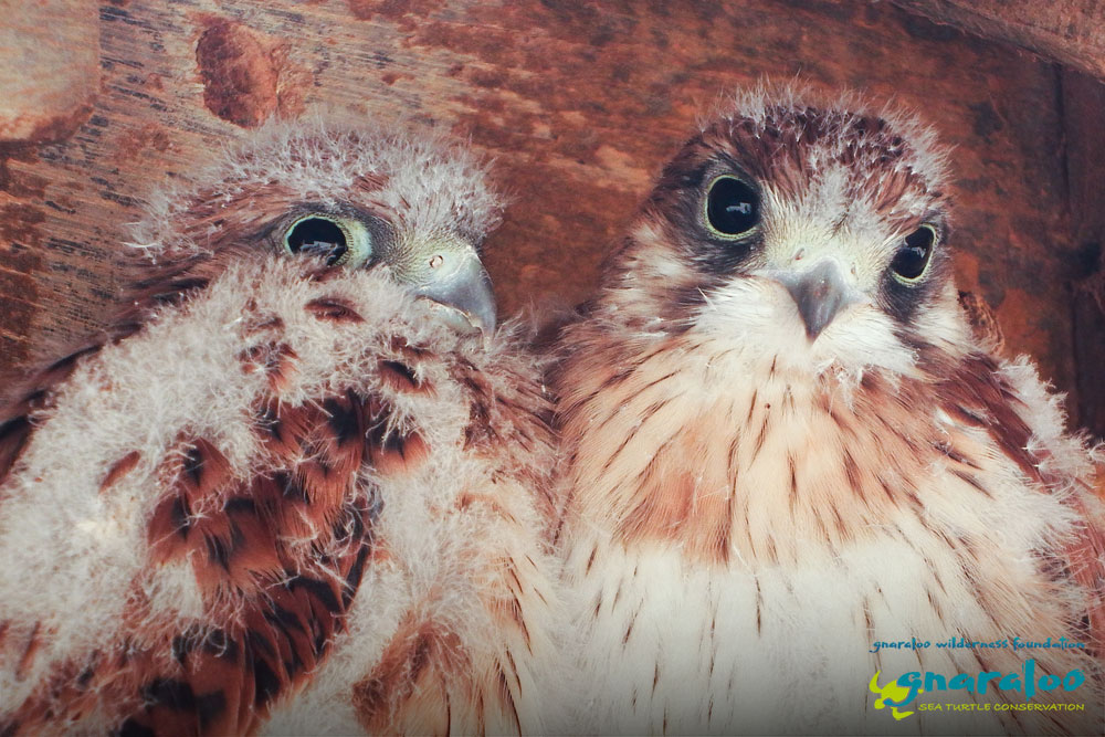 Nankeen Kestrels - Gnaraloo Wildlife Species