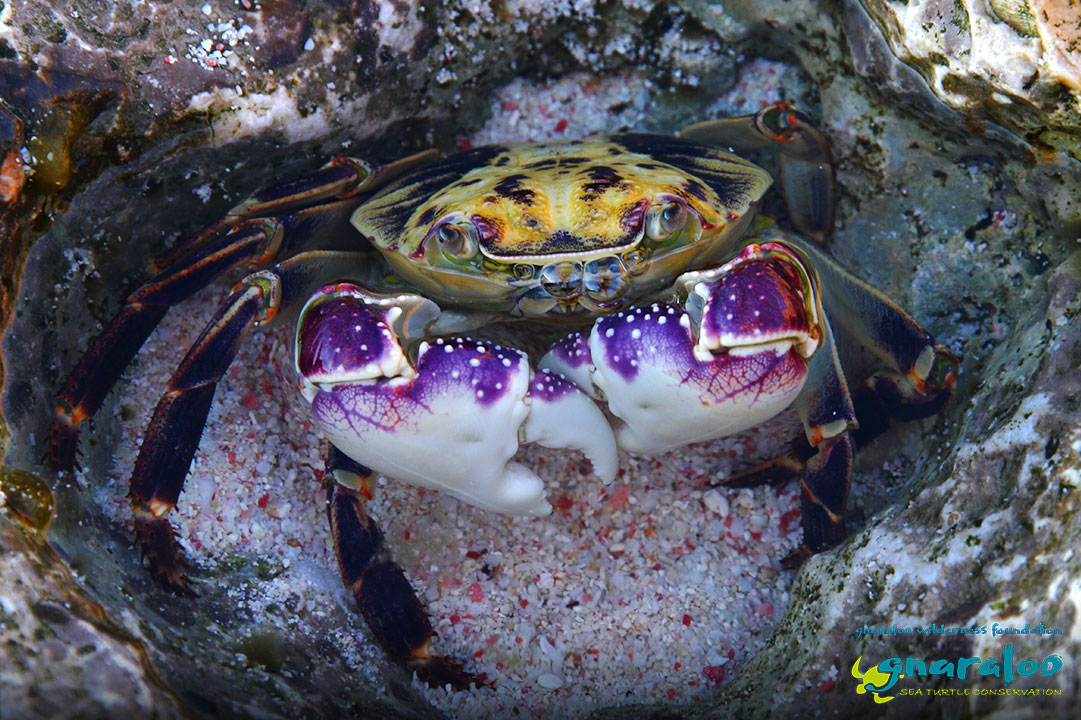 Purple Rock Crab - Leptograpsus variegatus - Gnaraloo Wildlife Species