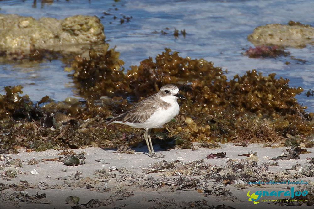 Greater Sand Plover - Charadrius leschenaultii - Gnaraloo Wildlife Species