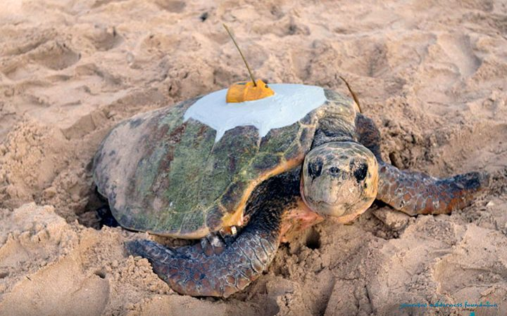 Sea Turtle Conservation - Satellite Tracking - Gnaraloo Bay Rookery - Western Australia