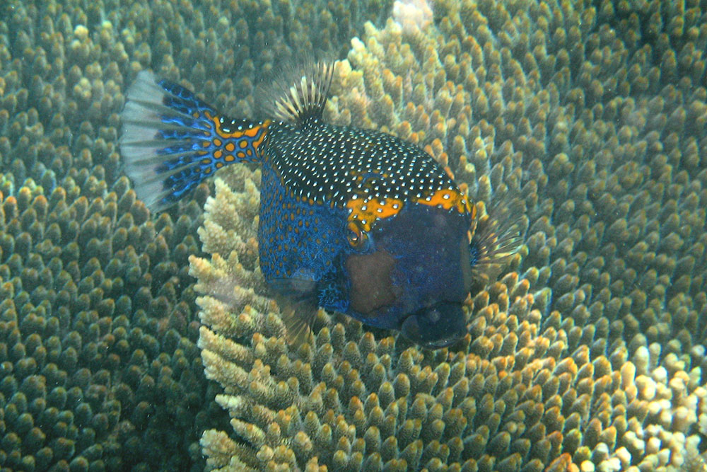 Spotted Boxfish - Ostracion meleagris - Gnaraloo Wildlife Species