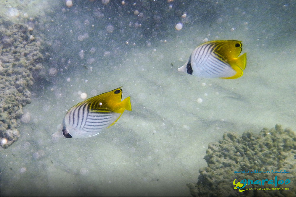 Threadfin Butterflyfish - Chaetodon auriga - Gnaraloo Wildlife Species